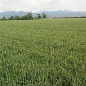 Површина посеана со пченица