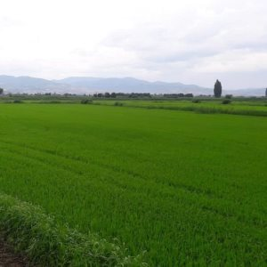 Површина засеана со ориз