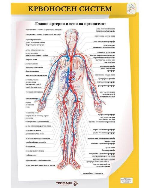 БП080 - Крвоносен систем 2 во 1 постер
