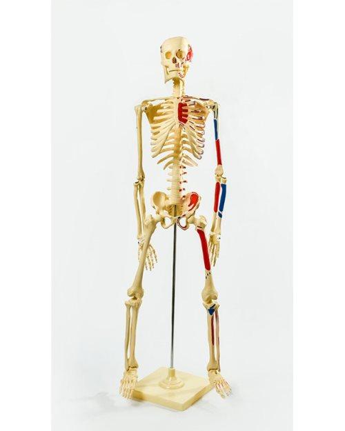 БМ004 - Модел на скелет со вени и артерии 85 см.
