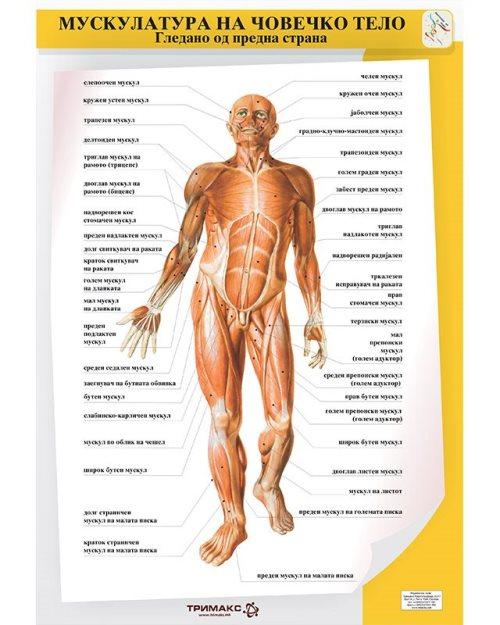 БП085 - Мускулатура на човечкото тело 2 во 1 постер