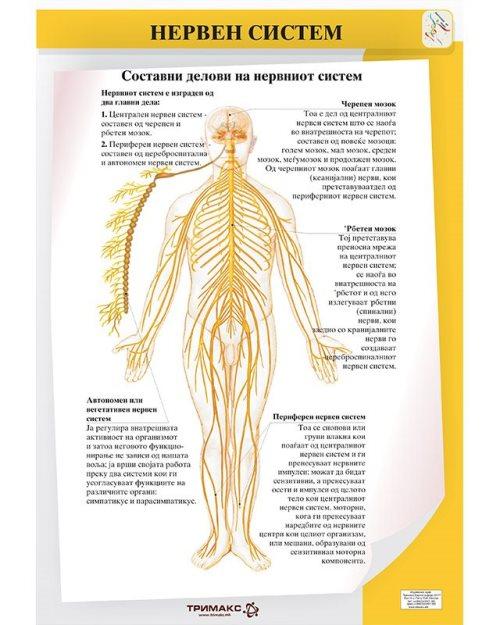 БП086 - Нервен систем 2 во 1 постер