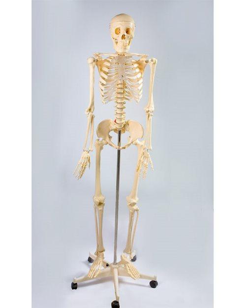 БМ001 - Стандарден скелет 170 см