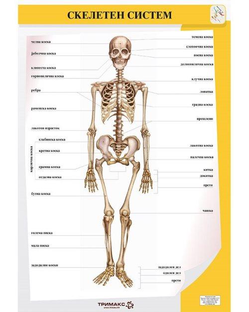 БП082 - Скелетен систем