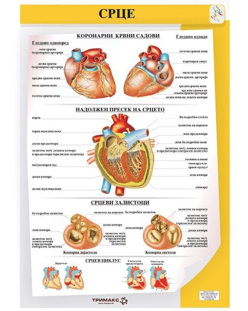БП081 - Срце