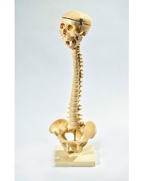 БМ005 - Еластичен 'рбет со череп и карлица