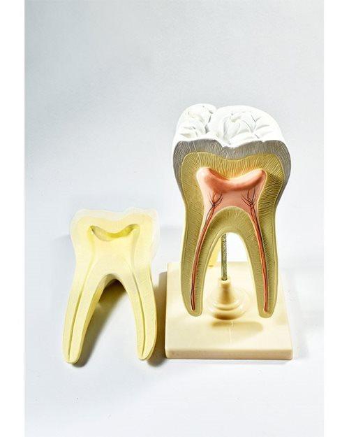БМ019 - Модел на заб катник со крвни садови и нерви