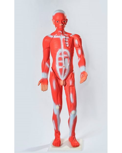БМ024 - Мускулатура на човечкото тело 85 см