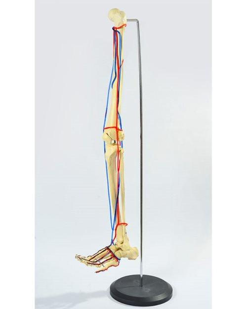 БМ010 - Нога со крвни садови