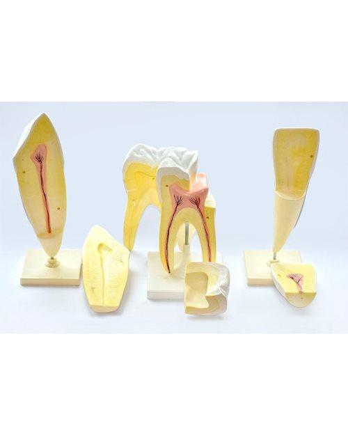 БМ018 - Модел на заби (катник, секач, песјак)
