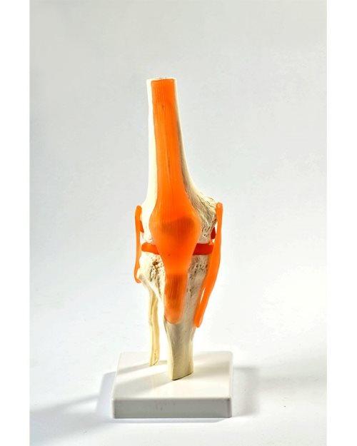 БМ009 - Зглоб на колено со лигаменти